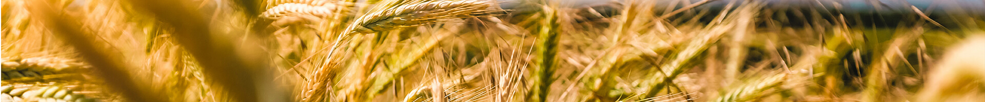 Header image - field of wheatgrass